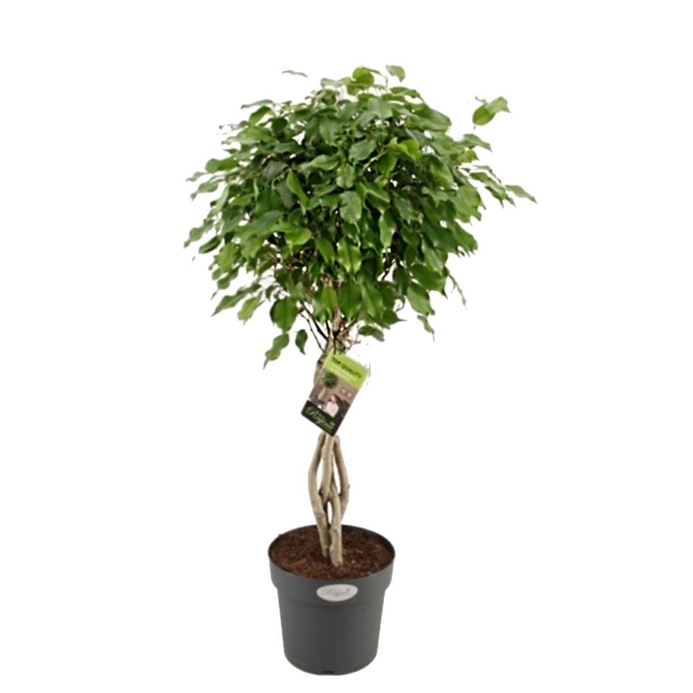Ficus exotica avec tronc tressé