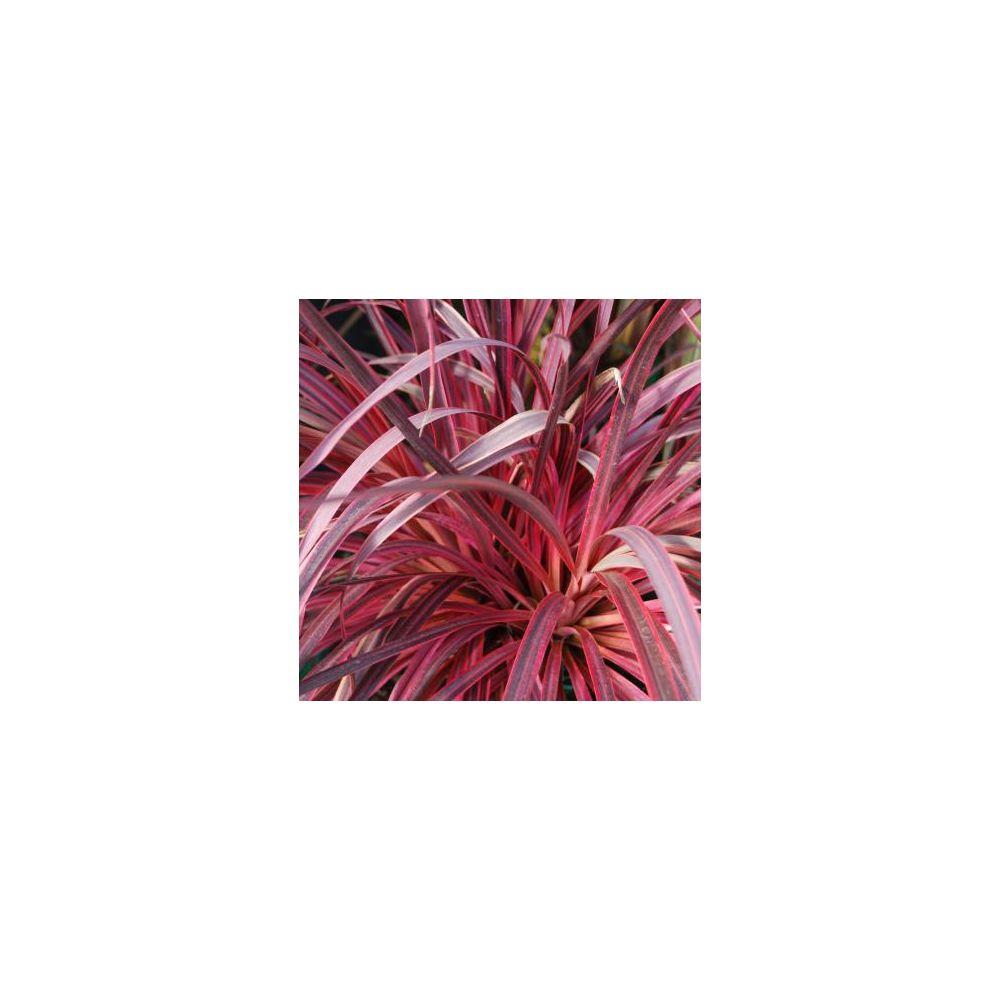 Cordyline Globe Planter Salsa