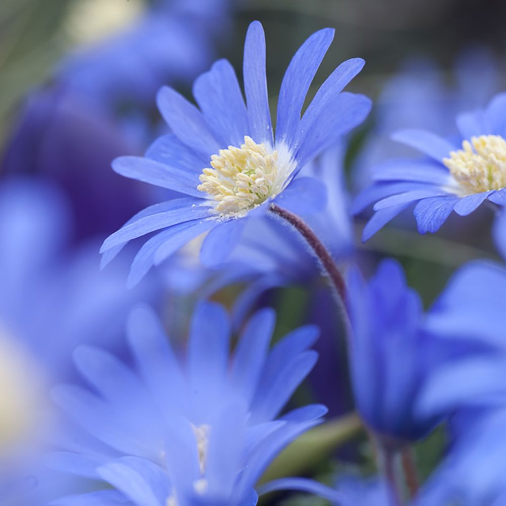 Anémones Blanda Blue Shades