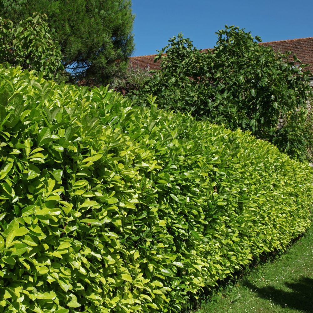 Kit de haie: haie de Laurier-palme Rotundifolia pour 10 m