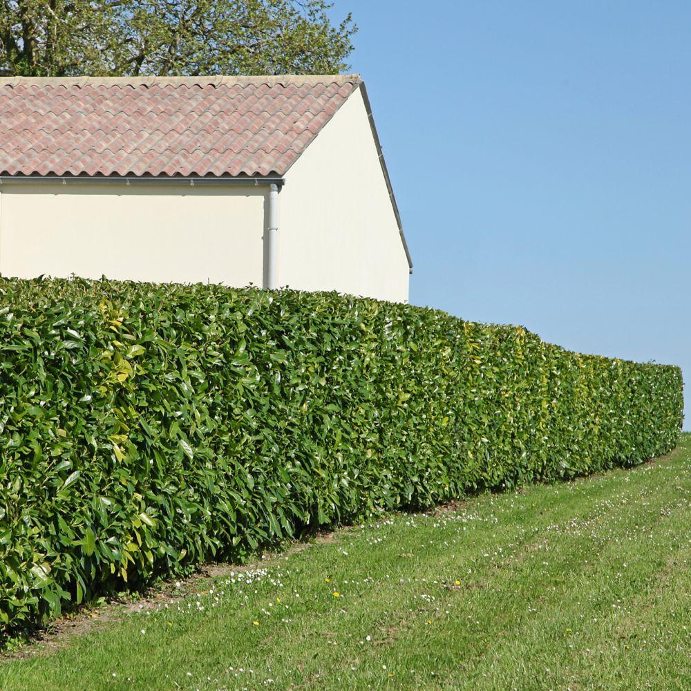 Kit de haie: haie de Laurier-palme Rotundifolia pour 10 m Lot de 10 ...