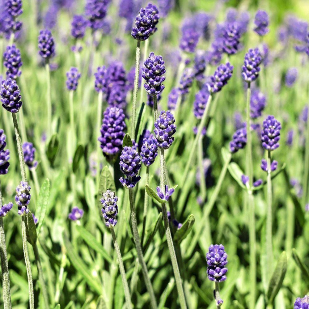 500g Fleurs de lavande Naturix24