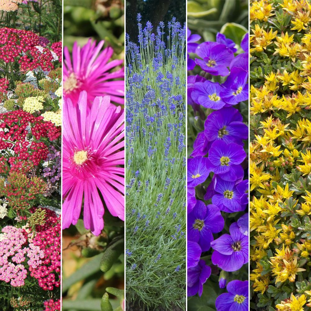 Arbuste Nain Persistant Plein Soleil kit de vivaces : plein soleil
