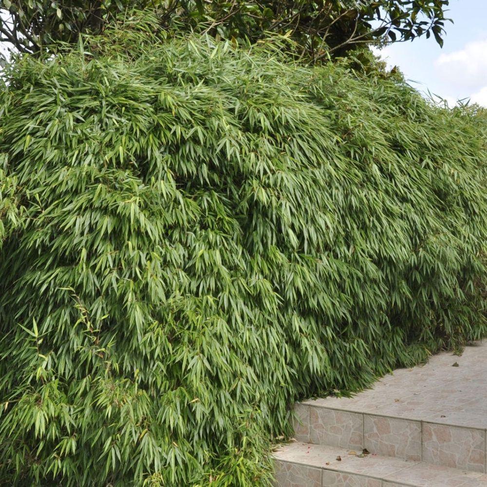 bambou non traçant : fargesia rufa en pot de 3 litres - gamm vert