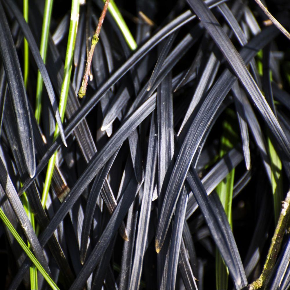 Ophiopogon noir - Ophiopogon Nigrescens