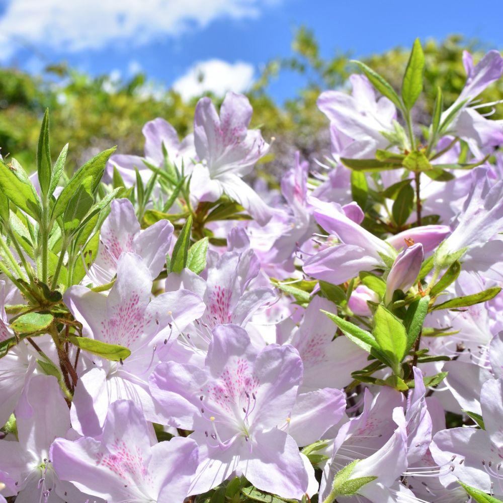 Planter Un Lilas En Pot azalee japonaise 'rêve de lilas'