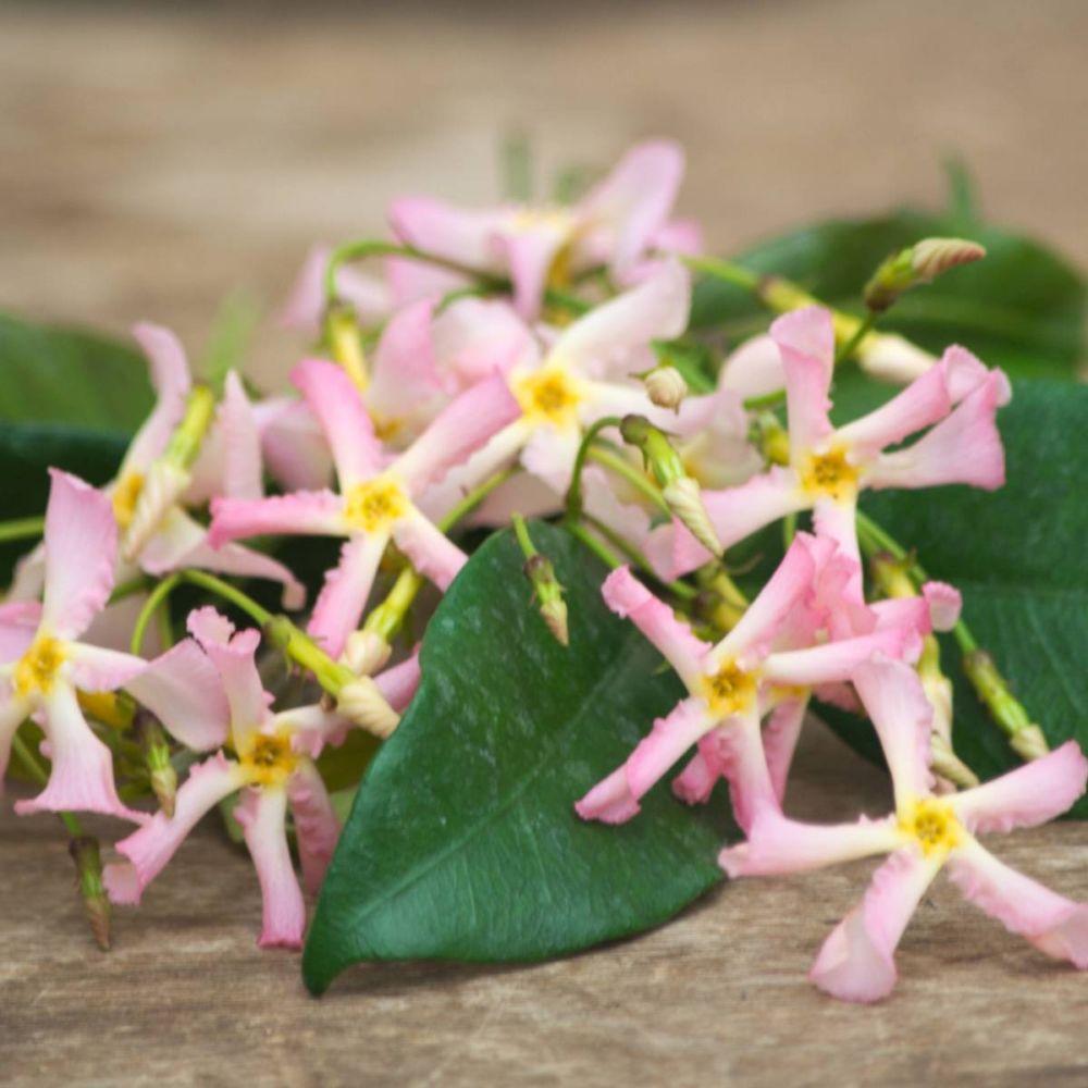 Jasmin étoilé Pink Showers® - Trachelospermum rose