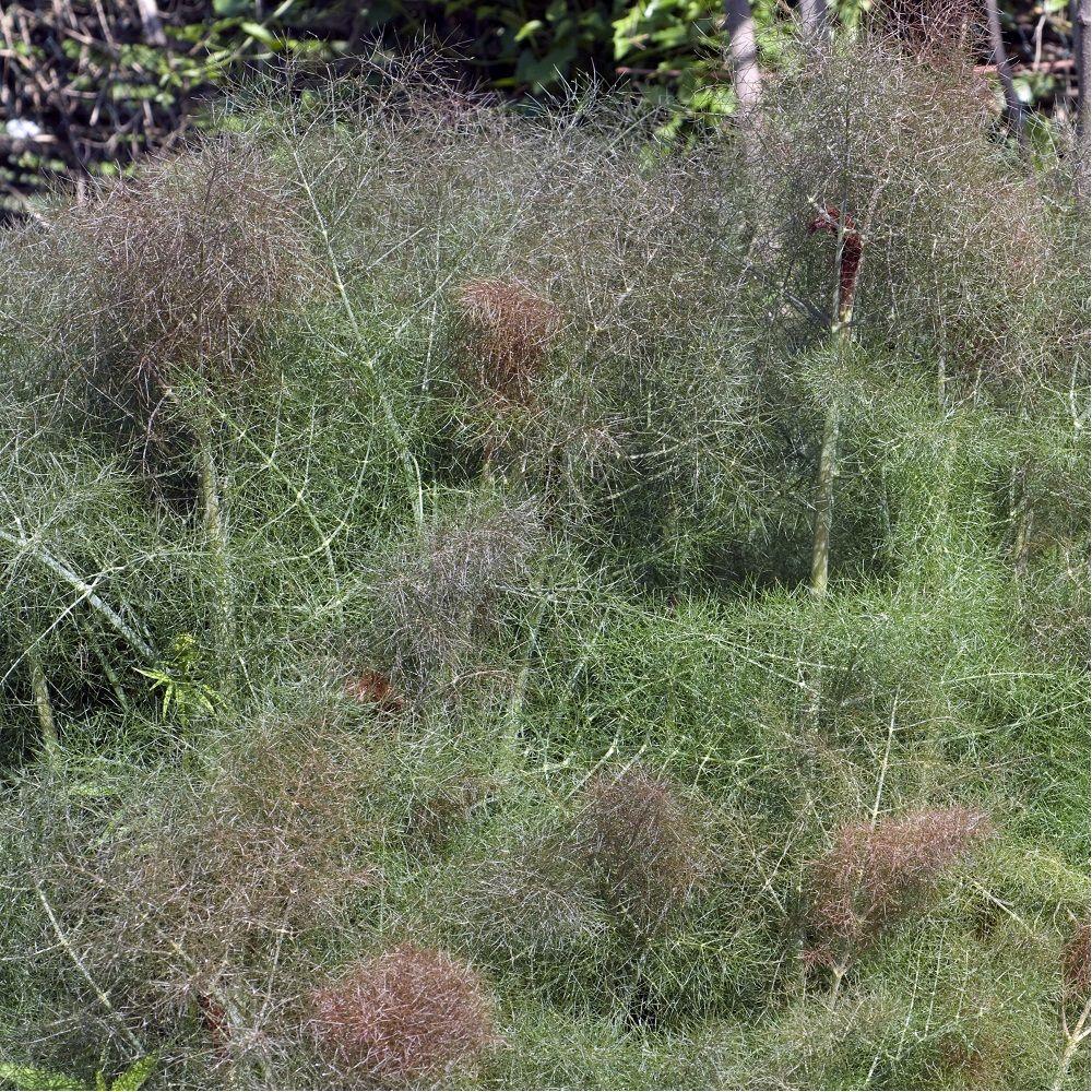 Graines de plantes aromatiques//Int/érieur /& Ext/érieur BIO Fenouil bulbeux /& Fenouil commun