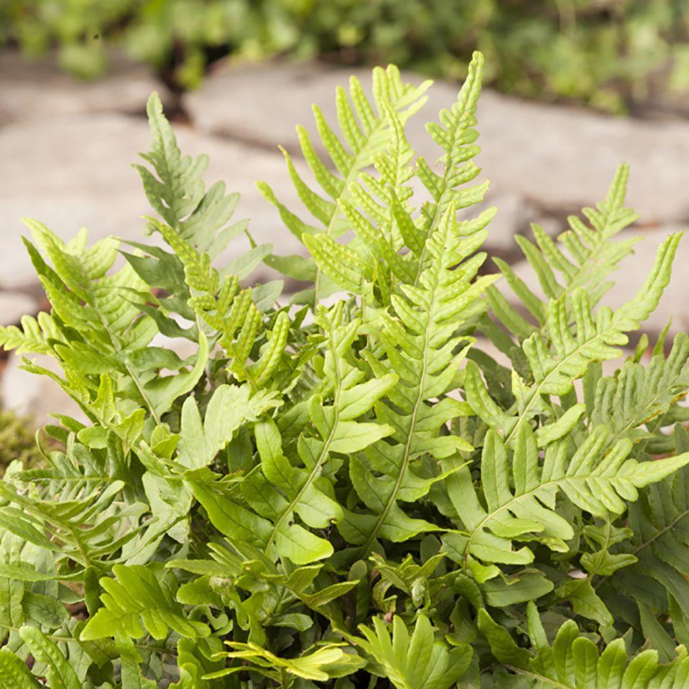 Fougère Polypodium vulgare