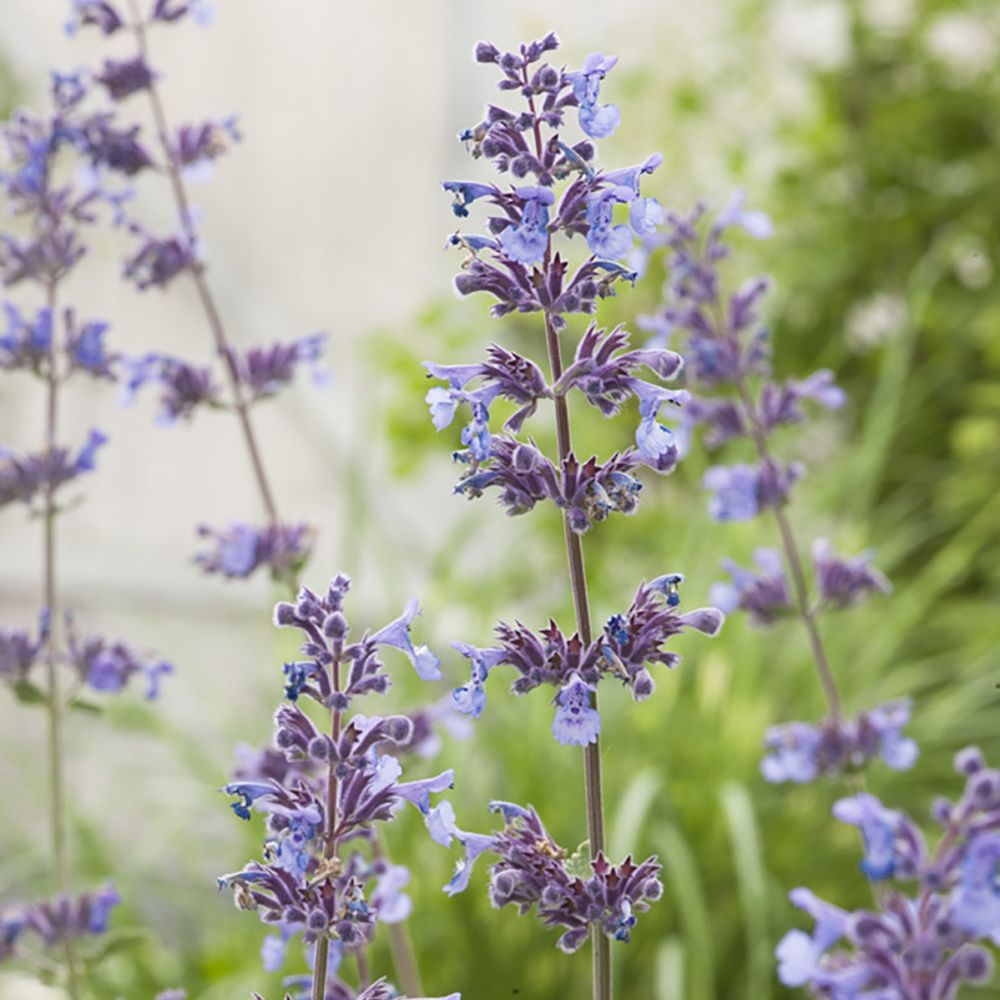 Herbe-aux-chats 'Six Hills Giant' - Nepeta