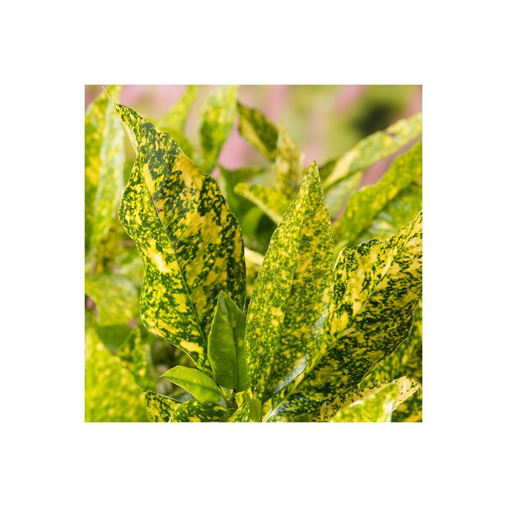 Aucuba japonica Golden King