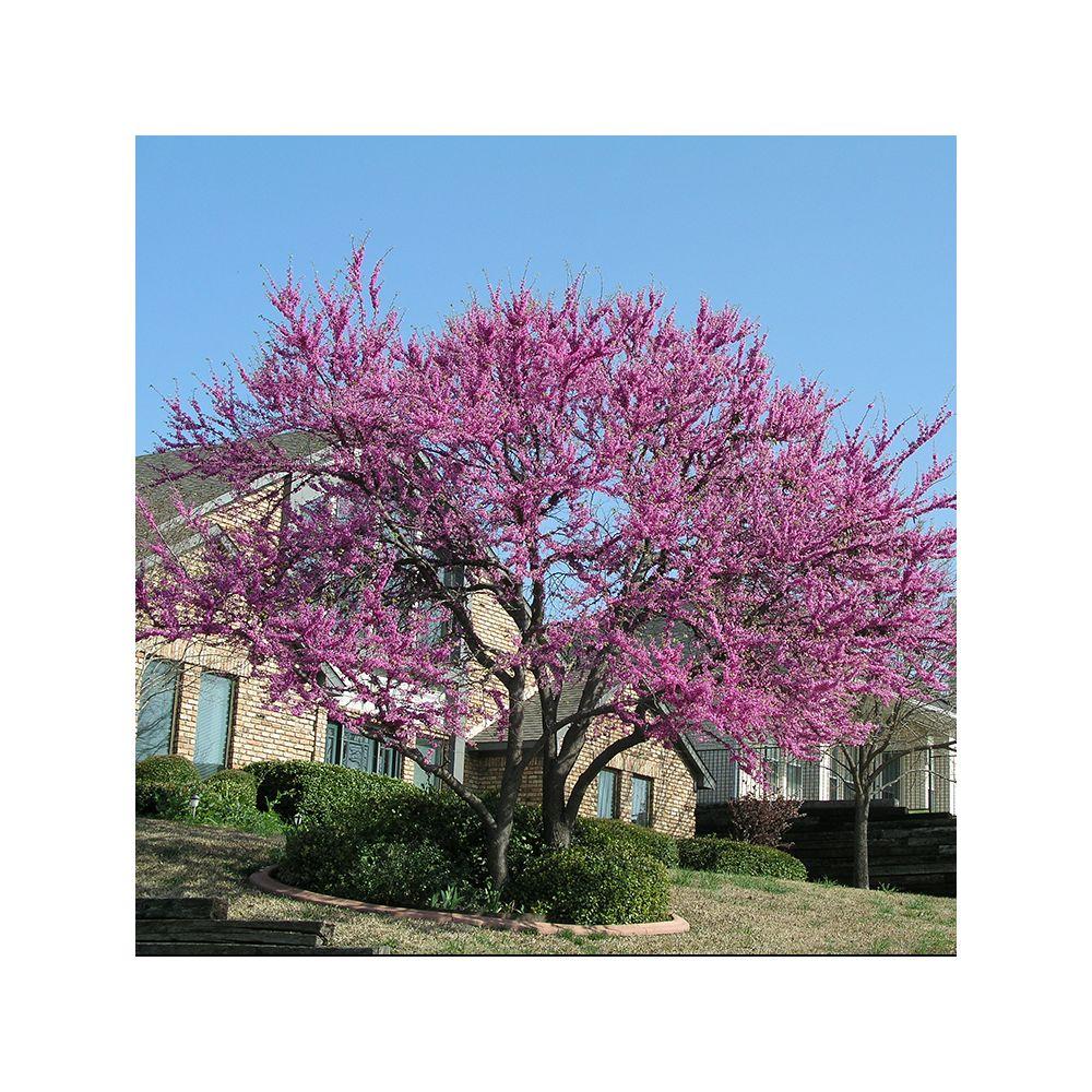 Arbre de Judée Pink Pom Pom - Cercis
