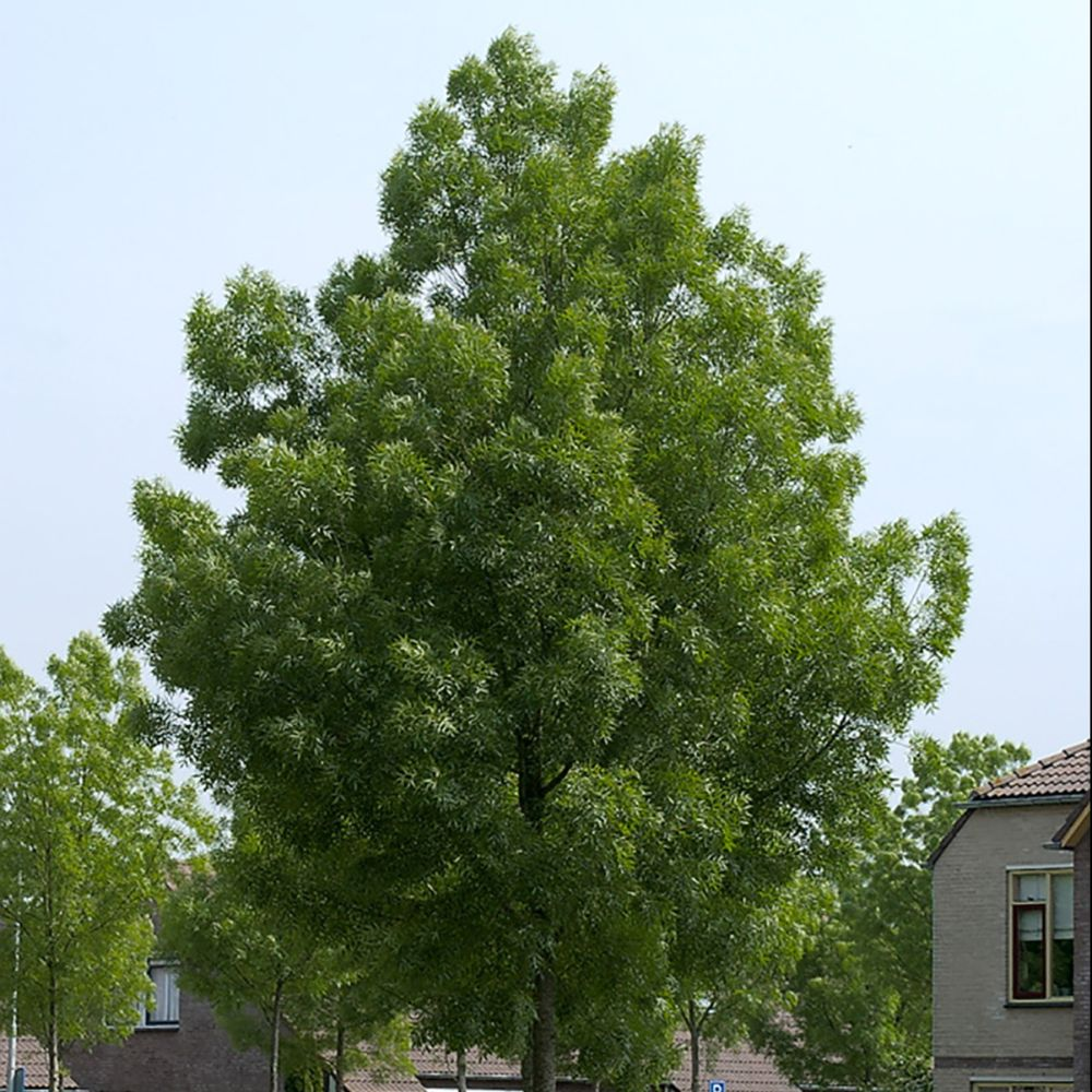 Frêne à feuilles étroites Raywood