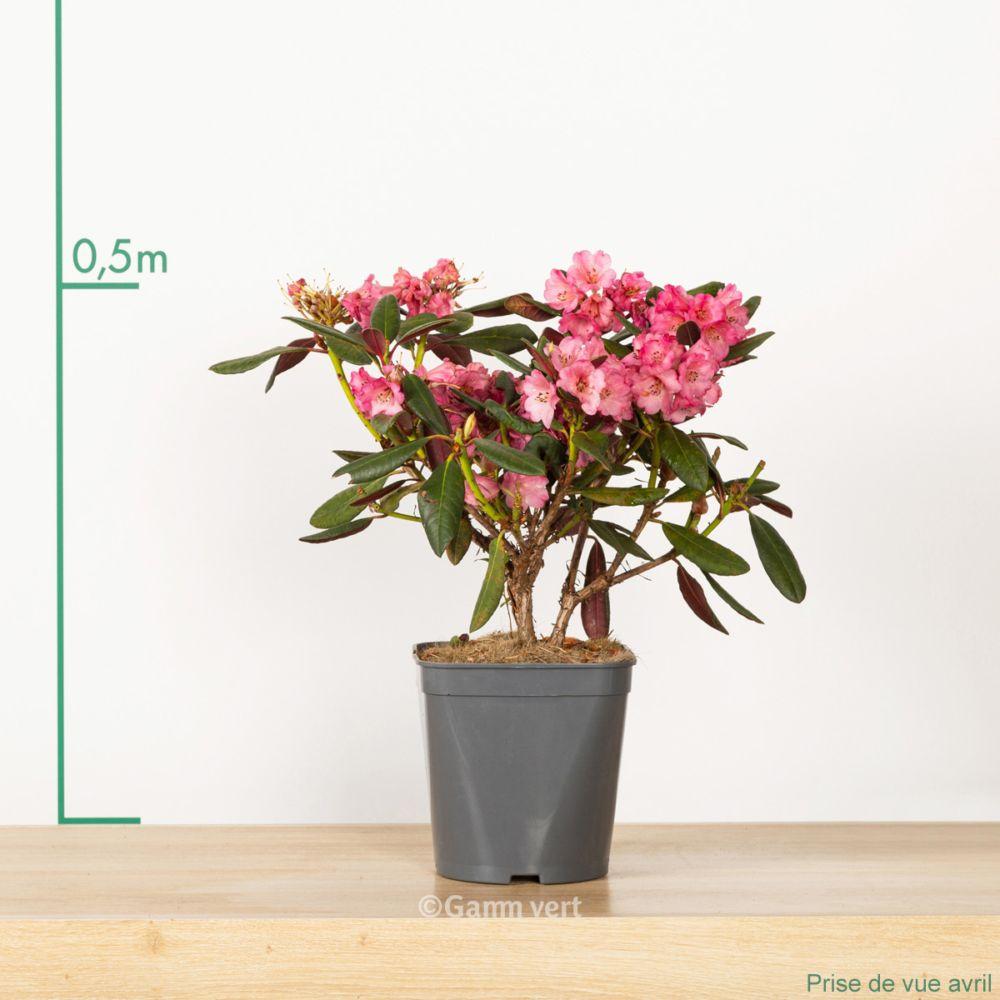 Rhododendron x Wine and Roses En pot de 4 litres - Gamm Vert