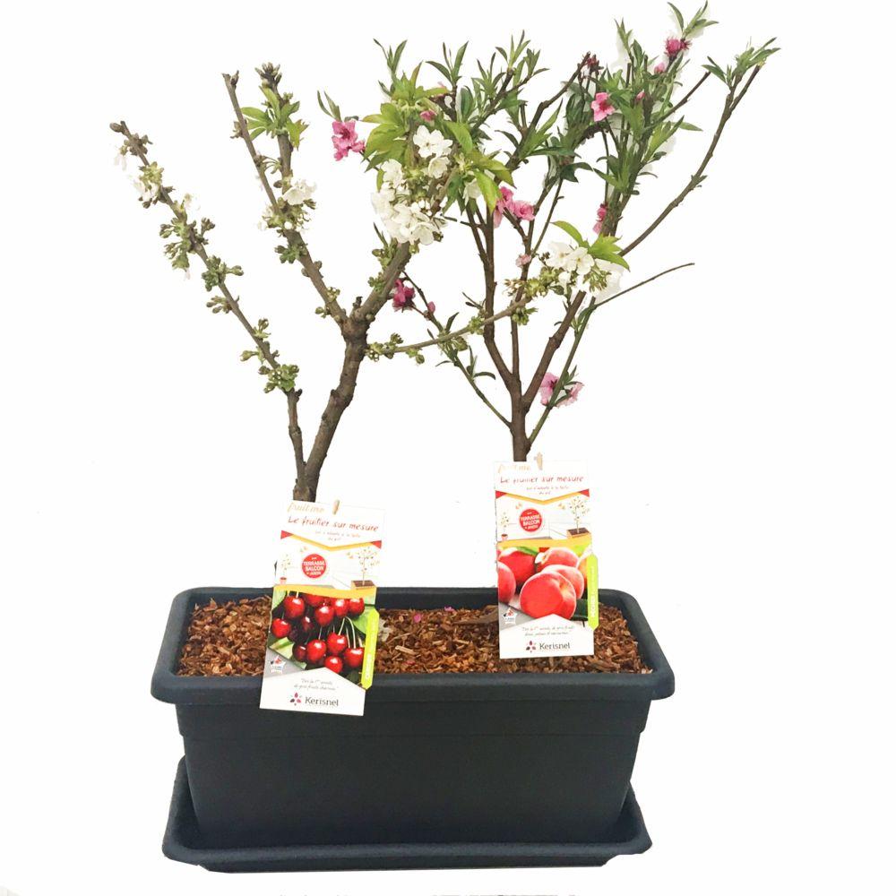 Cerisier Cherry me et pêcher Peach me red en jardinière - autofertiles