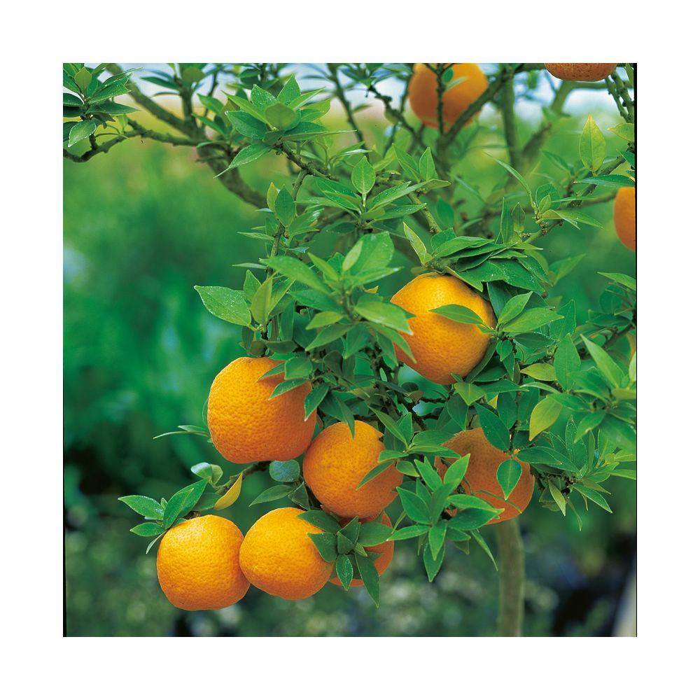 Mandarinier chinois
