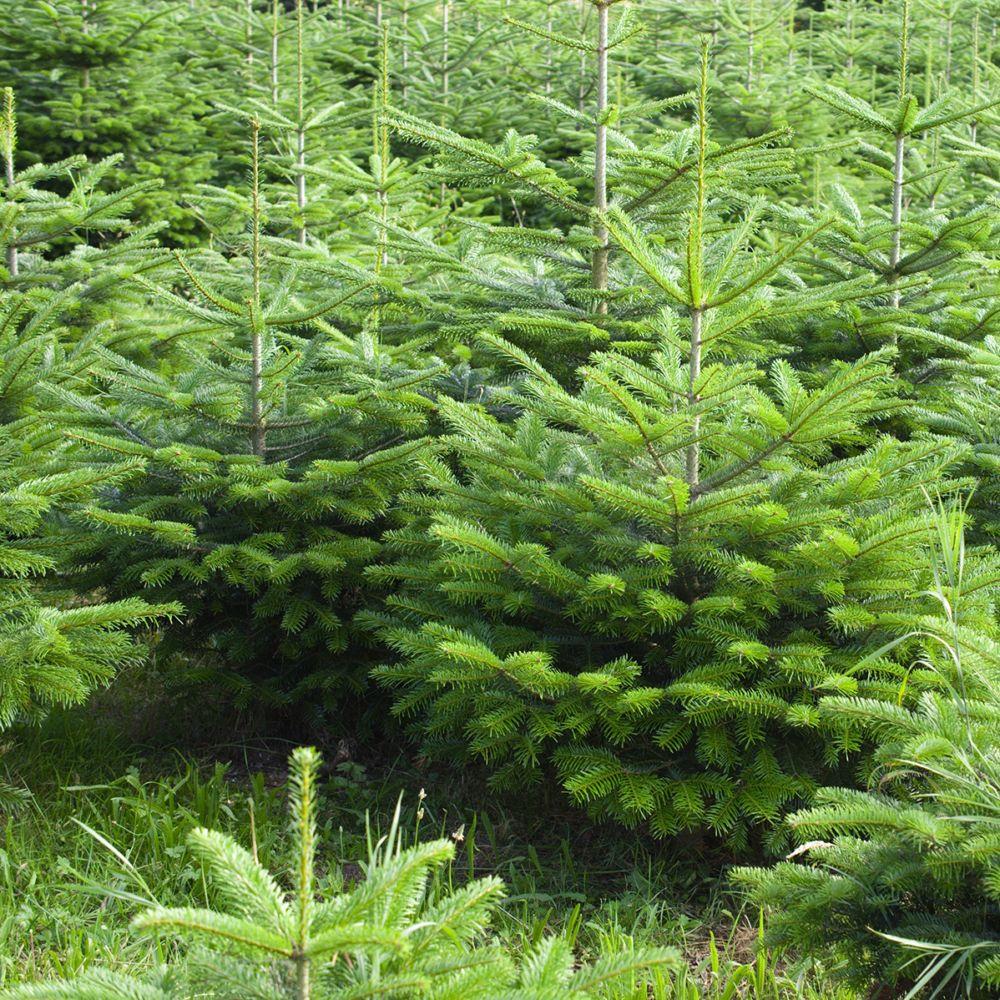 Sapin de Noël Nordmann 2/2,5m sur bûche. Livraison incluse. sous