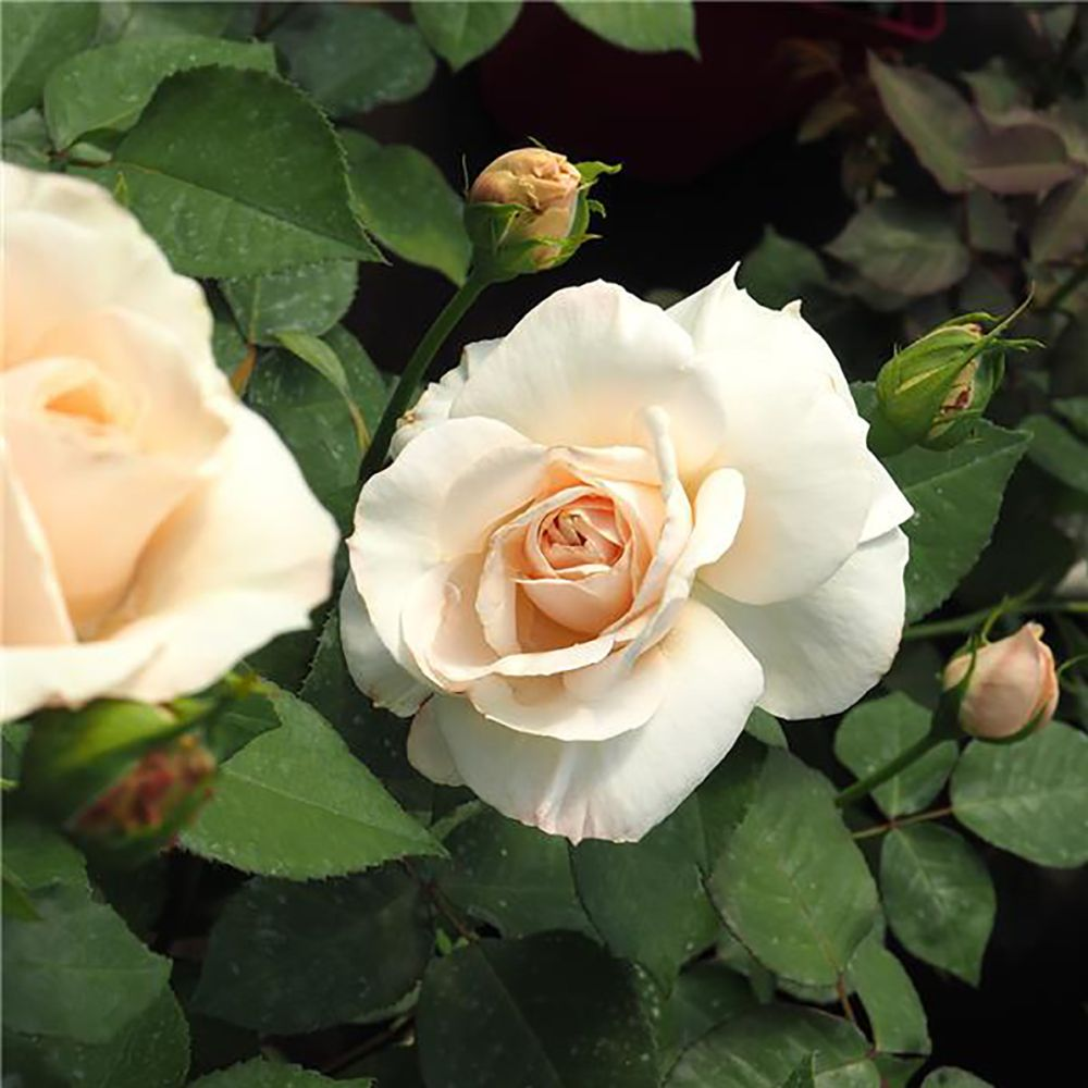 Couper Les Rosiers En Octobre rosier princesse astrid de belgique® - delcrebla - rosier georges delbard
