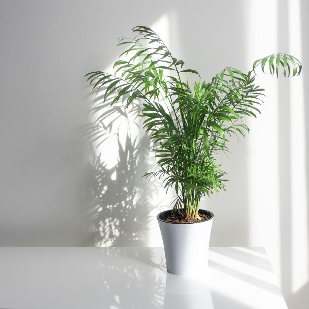 Pot De Plante Pas Cher palmier areca lutescens (dypsis) 50 cm