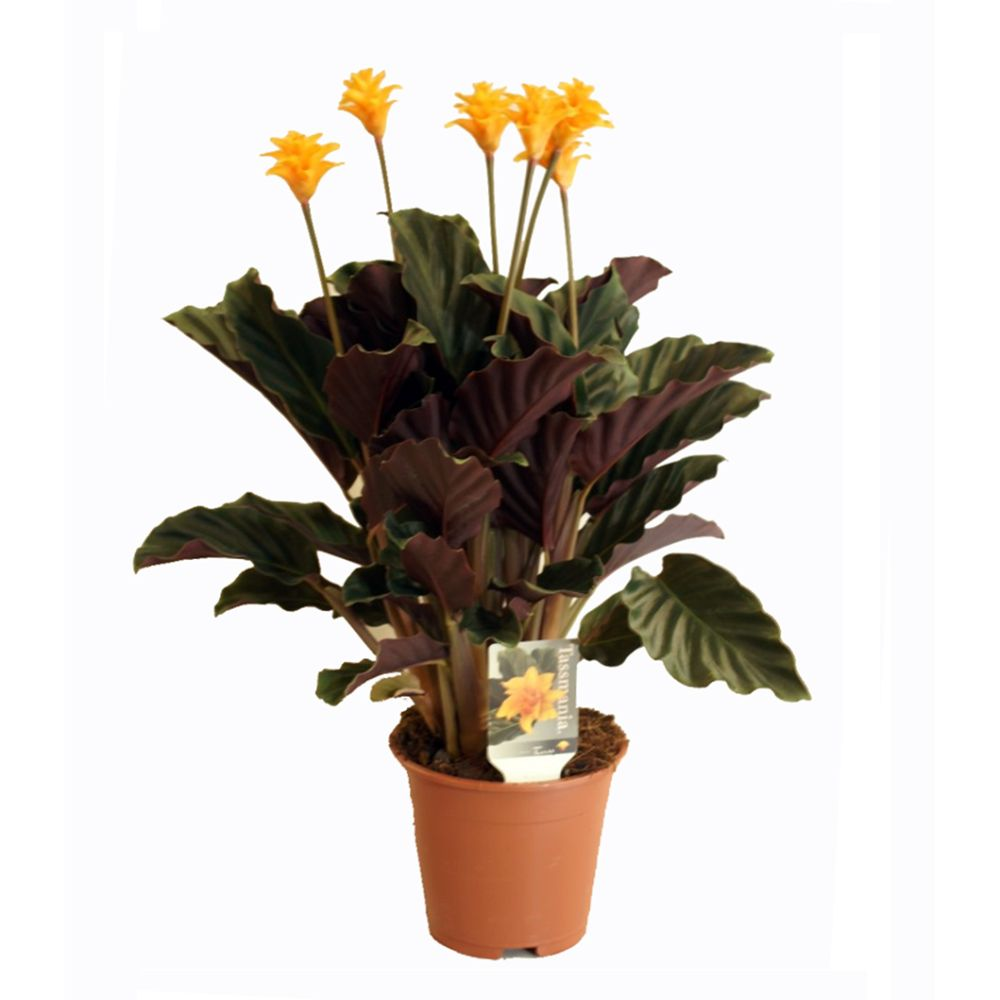 Calathea crocata 5/6 fleurs