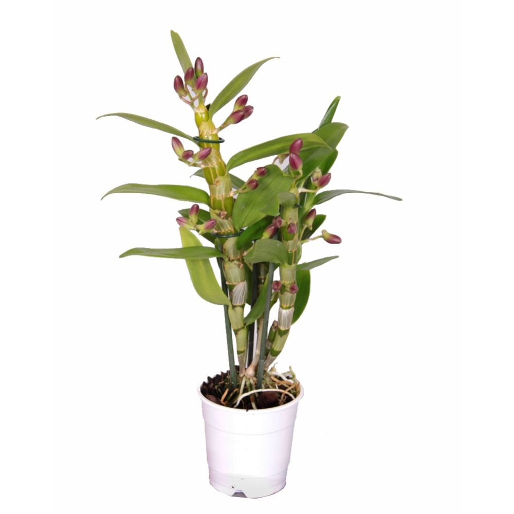 Orchidée Dendrobium nobilee Akatsuki - 2 tiges