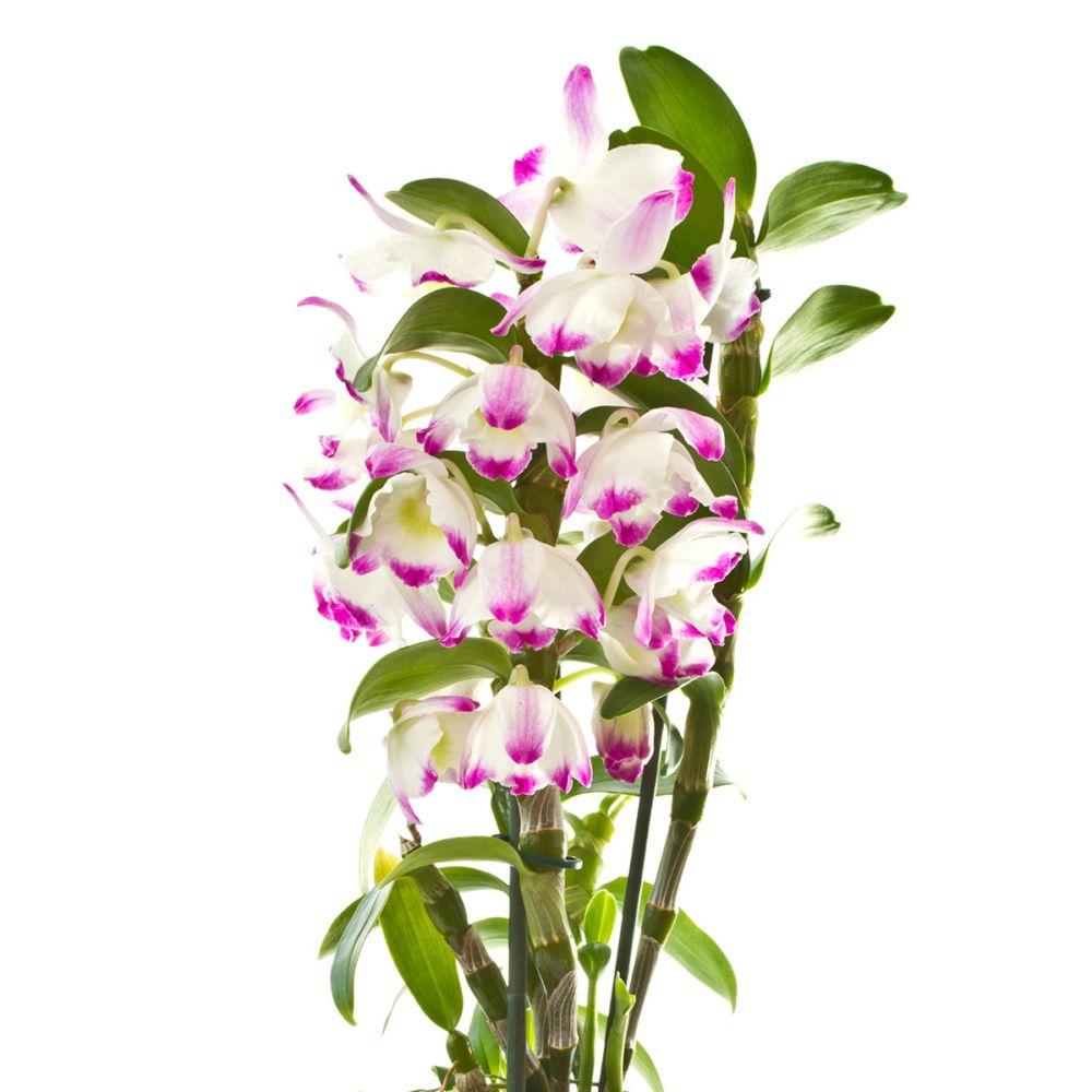 Orchidée Dendrobium Nobile Irene Smile - 2 tiges