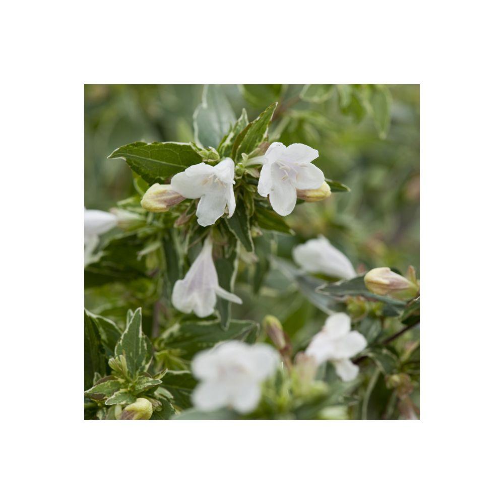 Abelia grandiflora Lucky