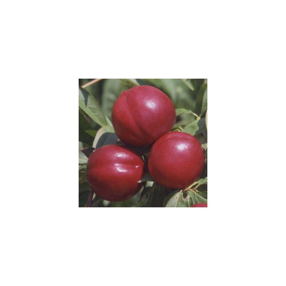 Nectarinier autofertile 'Morton' : taille en gobelet, en pot