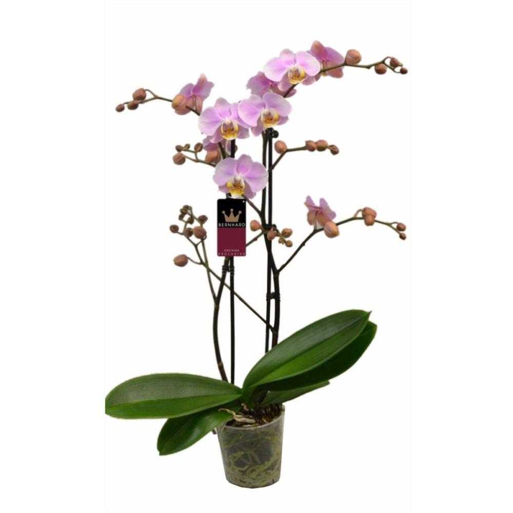 Orchidée Phalaenopsis sangria rose - 2 tiges