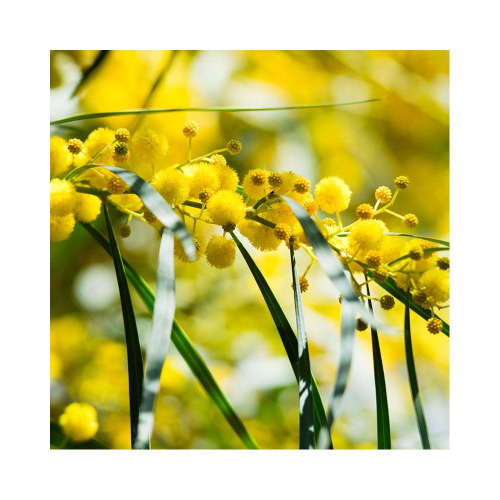 mimosa pleureur pot 5 litres hauteur 150 cm gamm vert. Black Bedroom Furniture Sets. Home Design Ideas