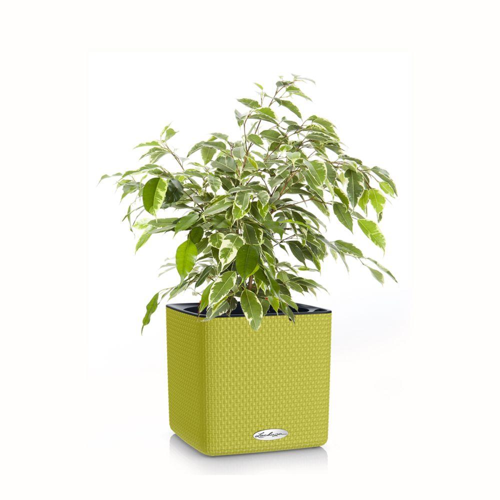 Ficus Kinky en pot Citron vert Lechuza (H.45cm)