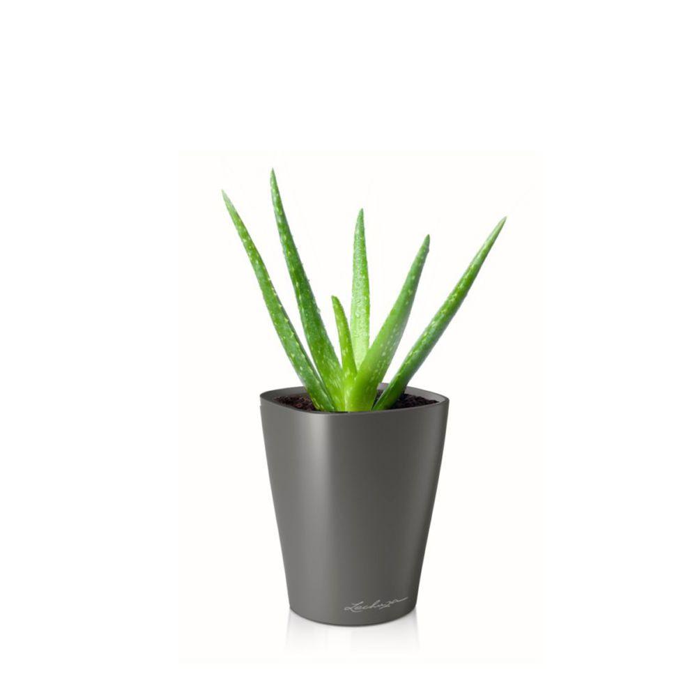 Aloe Vera en pot anthracite Lechuza (H.40cm)