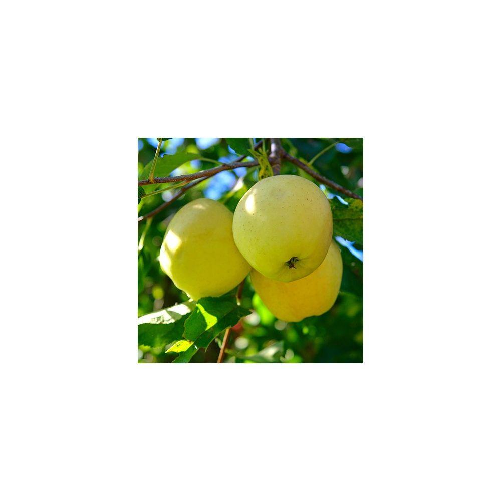 Pommier 'Golden Delicious' : taille en quenouille, pot de 10 L