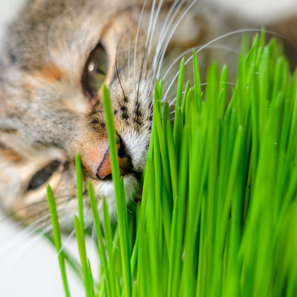 Herbe à chat - Herbacha®
