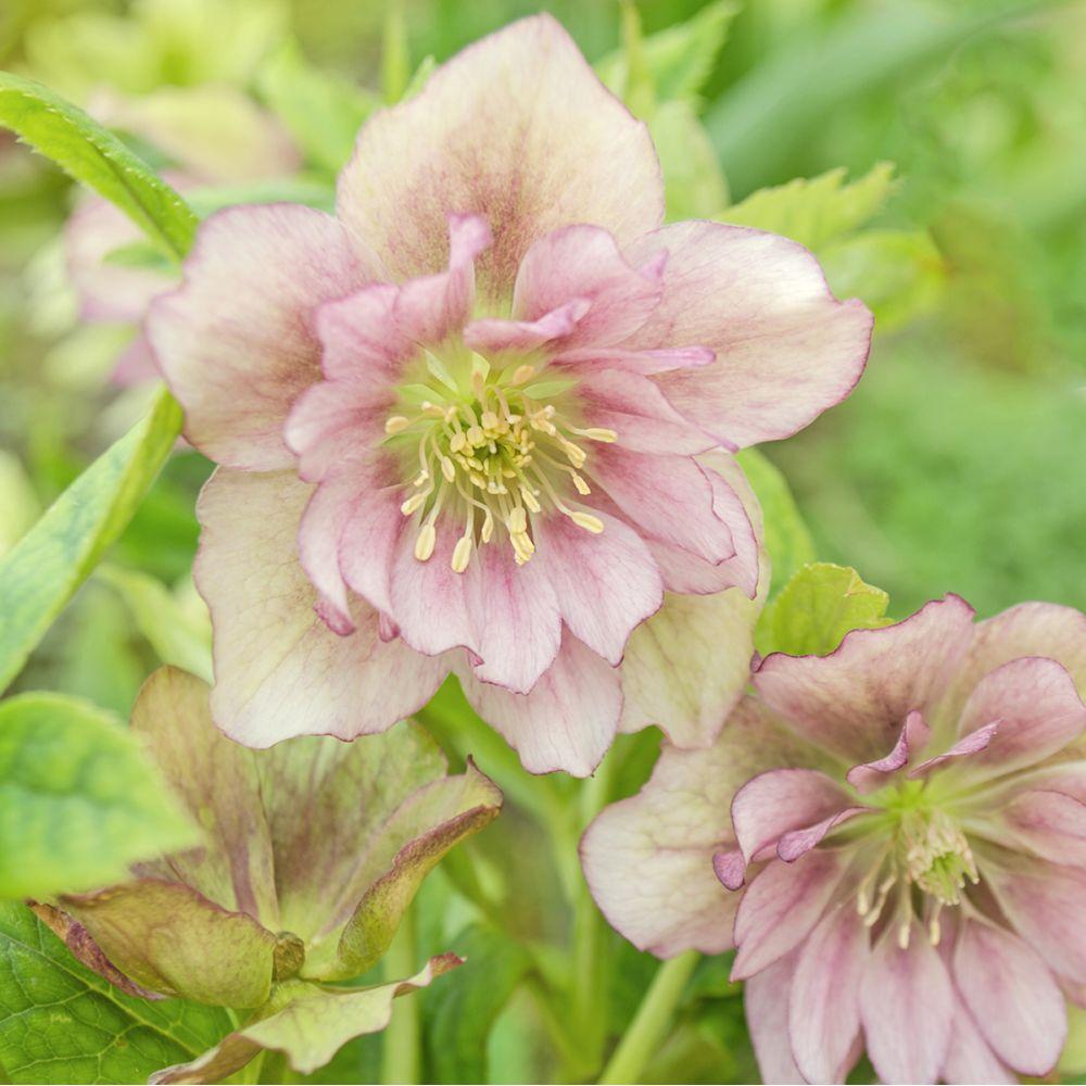 Hellebore Rose De Noel Entretien rose de noël double ellen pink spotted - helleborus