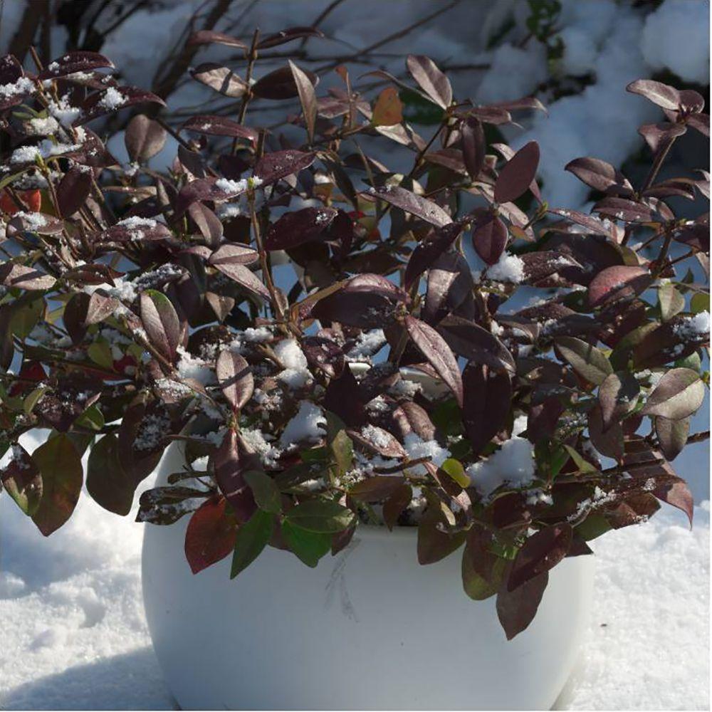 jasmin persistant winter ruby trachelospermum pot de 1. Black Bedroom Furniture Sets. Home Design Ideas