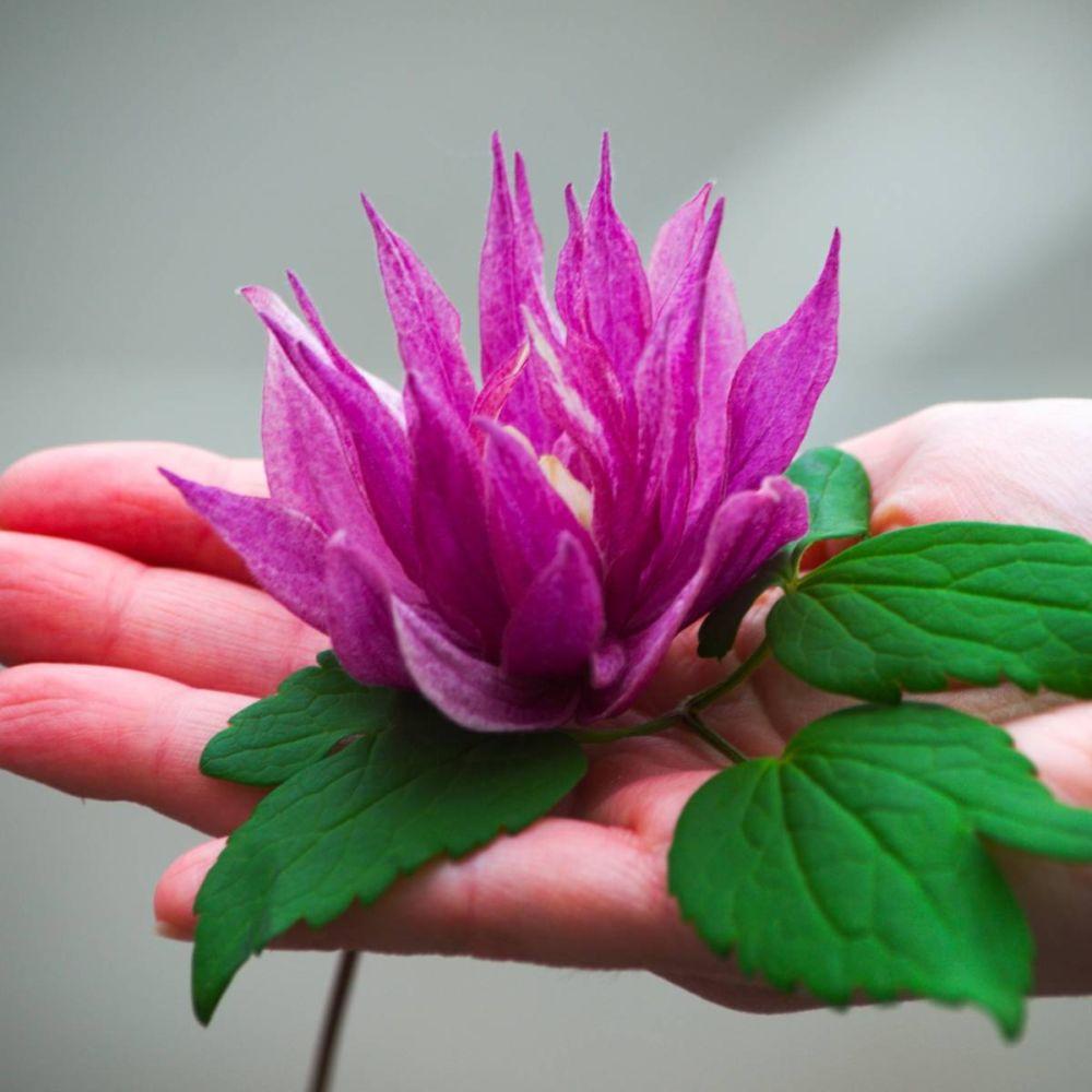 Clématite Purple Dream®