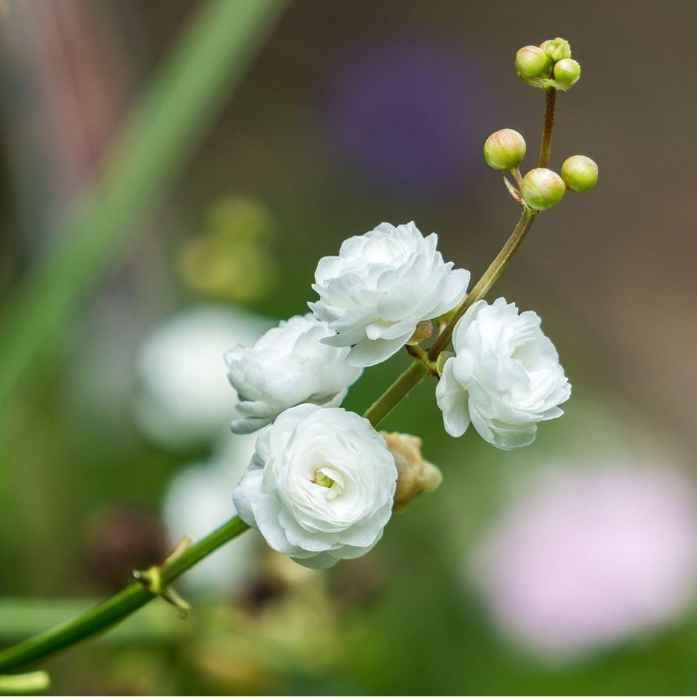 Plante aquatique Flèche d'eau - Sagittaria japonica Flore Pleno Pot de 1  litre - Gamm Vert
