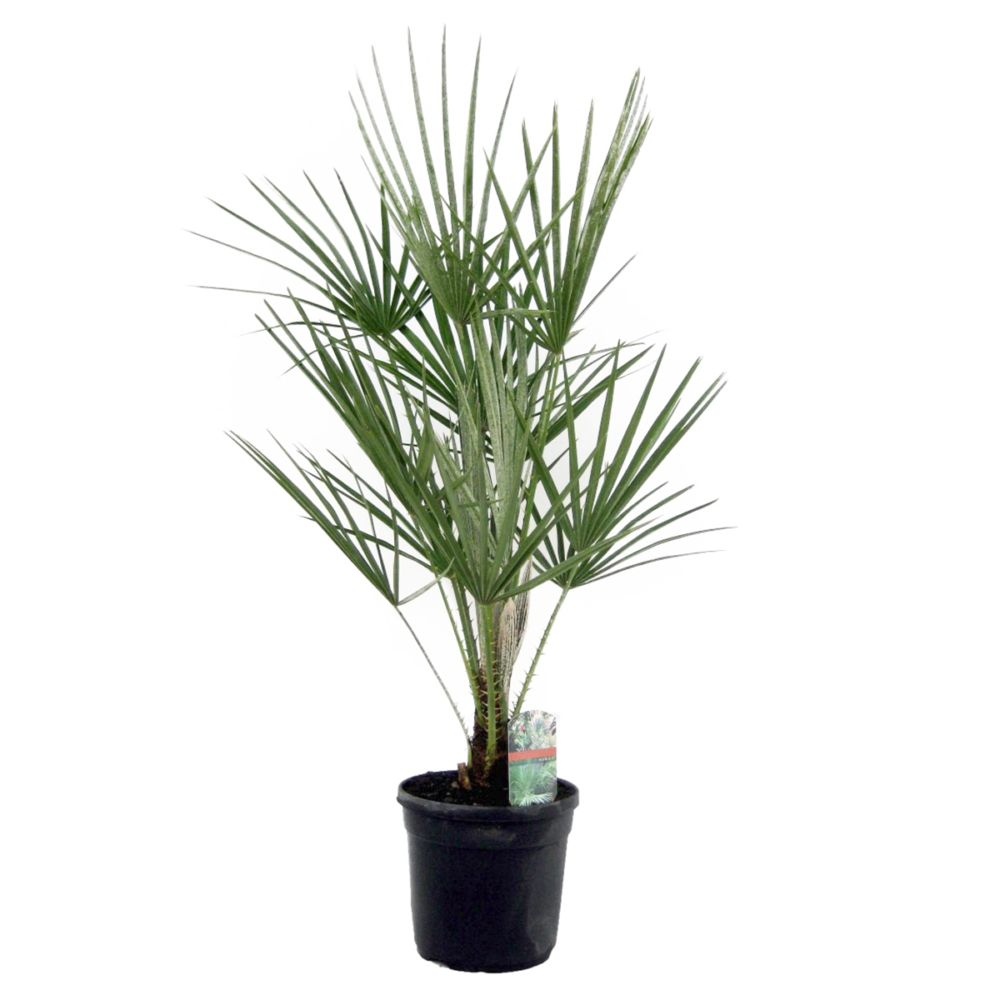 palmier nain chamaerops humilis pot diam tre 19 cm. Black Bedroom Furniture Sets. Home Design Ideas