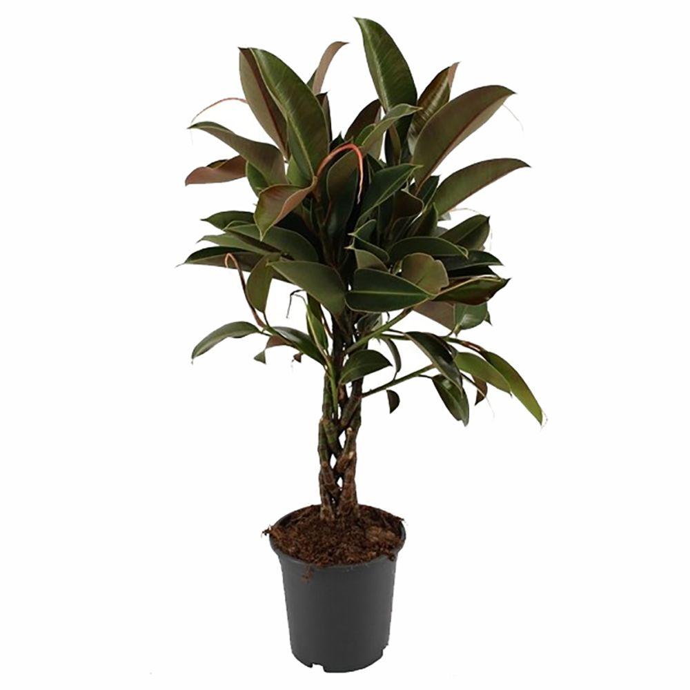 Ficus Caoutchouc Melanie tressé