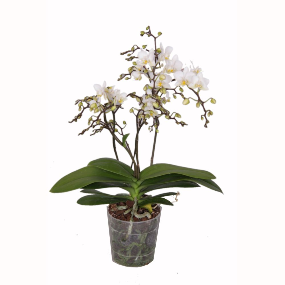 Orchidée Phalaenopsis Wildflower 4 tiges
