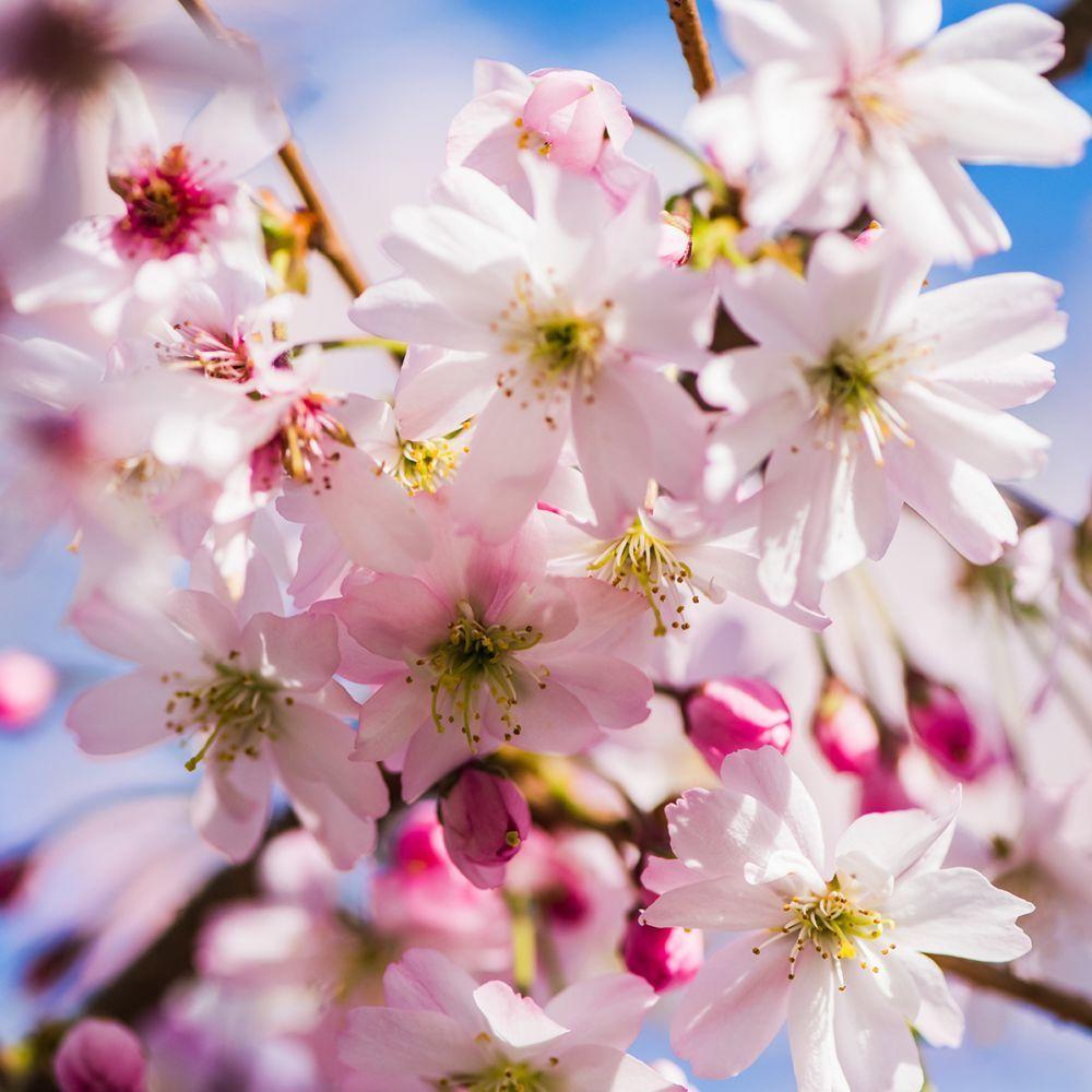 Hauteur Cerisier Du Japon cerisier à fleurs japonais 'accolade'