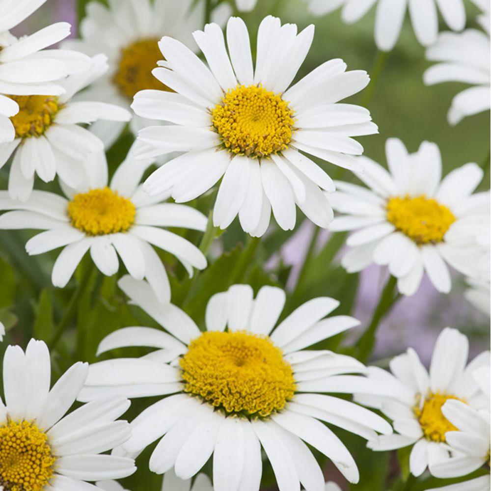 Marguerite d'été Snow Lady - Leucanthemum x superbum
