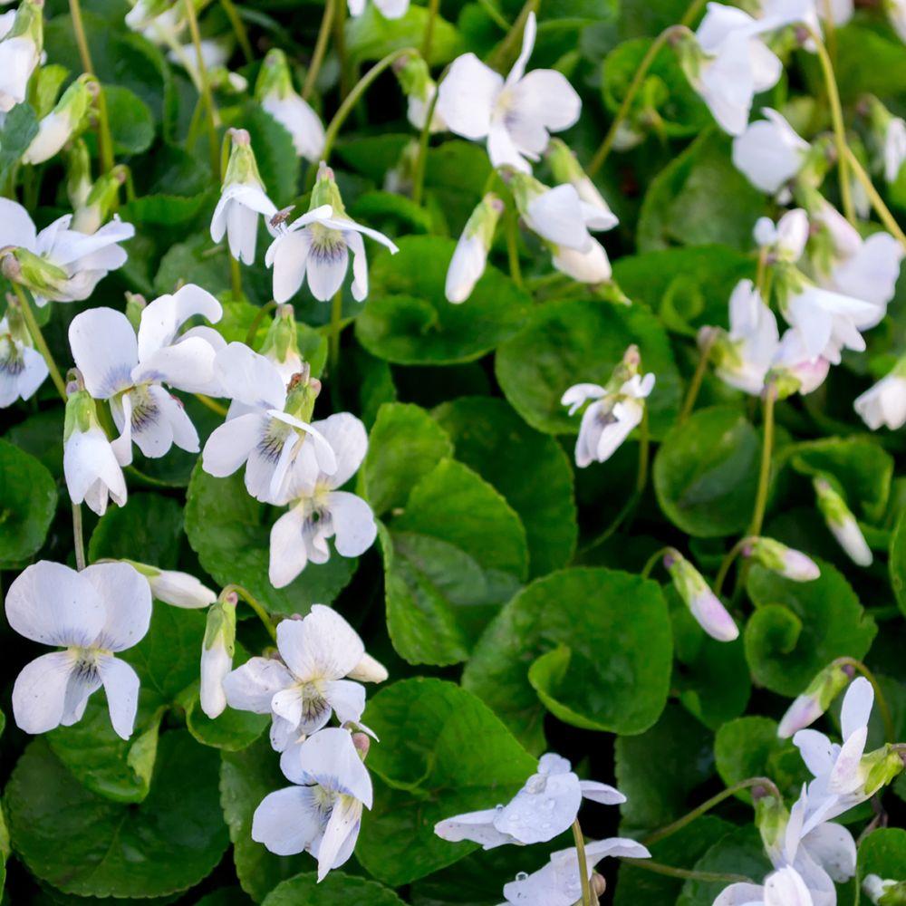Violette odorante Reines des Blanches - Viola odorata Lot de 3 godets de 7  cm - Gamm Vert