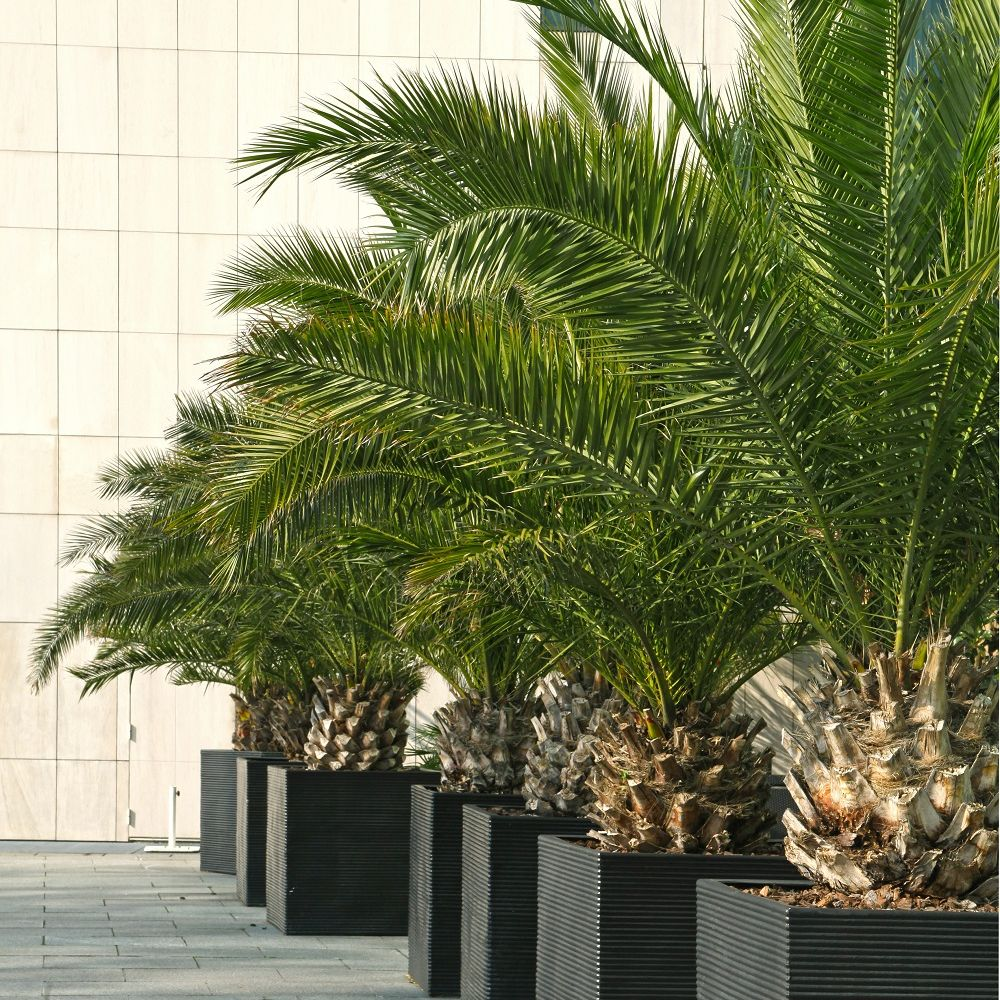 palmier phoenix canariensis en pot de 15cm hauteur avec. Black Bedroom Furniture Sets. Home Design Ideas