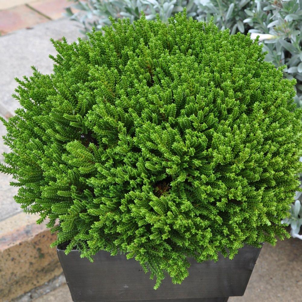 Plante Haute En Pot véronique arbustive 'green globe'