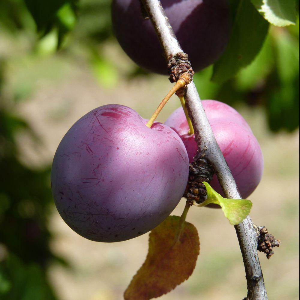 Prunier 'Reine Claude Violette' : taille en quenouille, en pot