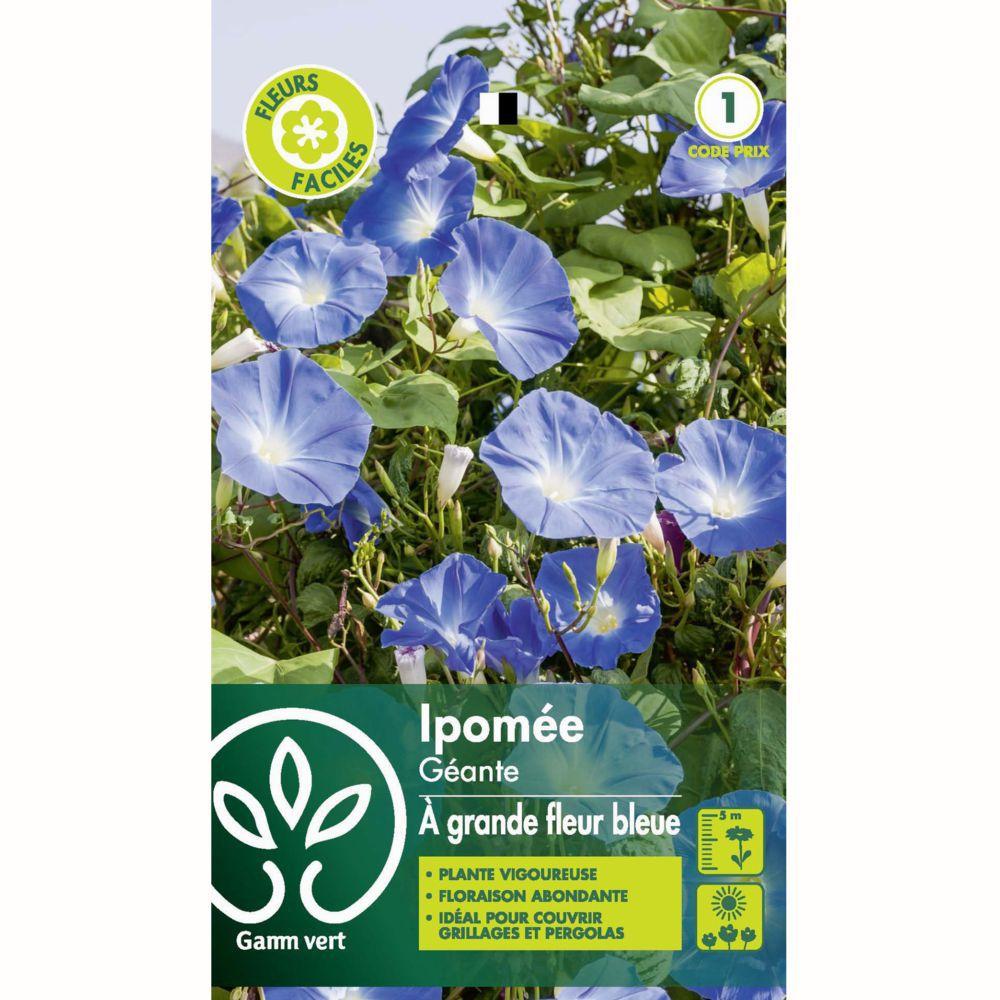 Ipomée à grande fleur bleue azur