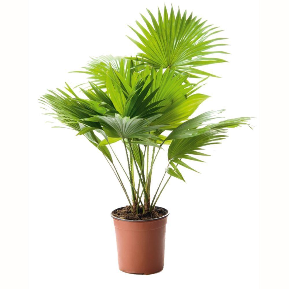 Palmier Livingstonia rotundifolia
