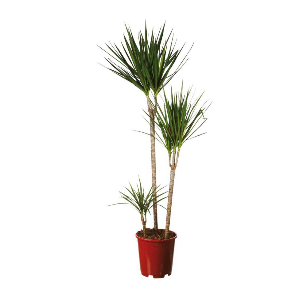 Dracaena marginata 3 troncs (H.150cm)